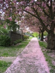 Sidewalk with Cherry Blossoms. Vancouver, Canada