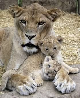 LionessWatching 2Cubs