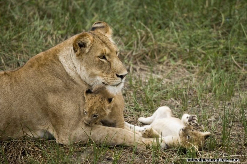mother-lion-and-cubs_850_watermark-text